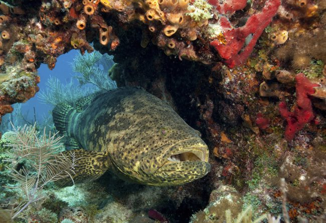 Coral reefs near Key Largo and Marathon Key have improved significantly since a new vacuum sewer system was installed, reducing the use of septic tanks. Image courtesy Stephen Frink Photograpy.